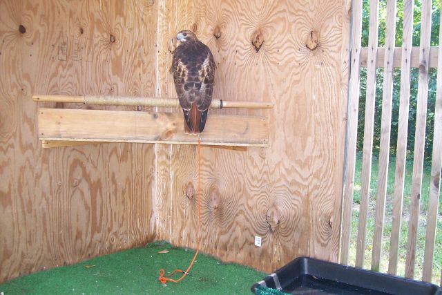 View Of Hawk Sitting On Perch 36 Quot From Floor